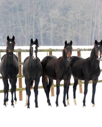 Our yearling mares out in winter