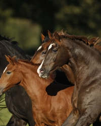 Our mares and foals have extensive pastures to graze on when they are out each day.